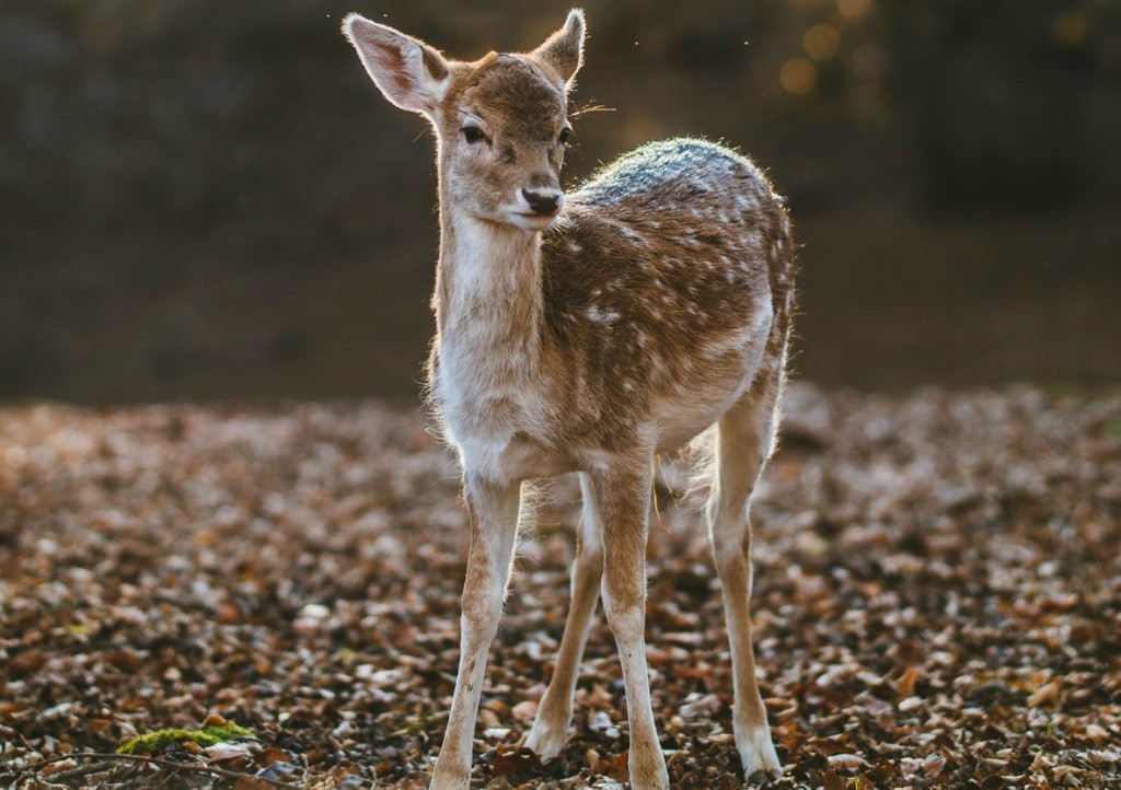 unsplash deer