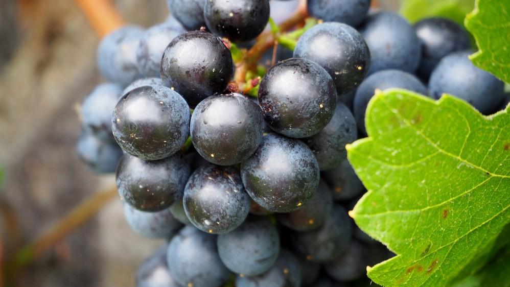 ¡Protege tu cuerpo comiendo uvas! Excelentes frutas de temporada